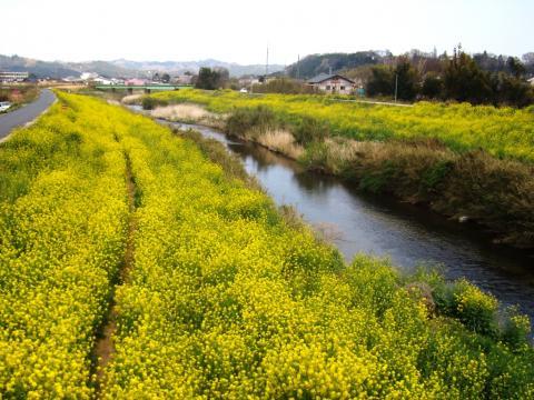 好間川の春
