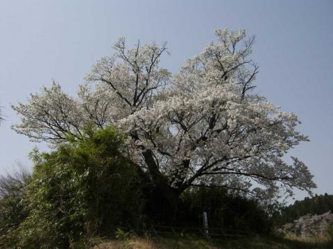 墨染桜(2008/4/15)